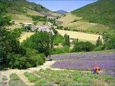 Champs de lavande dans la Drôme (département 26 )