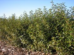 Correa Dinner Bells --- For more Australian native plants visit austraflora.com