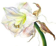 <span class=%22title%22>Amaryllis Apple Blossom Flowering II</span>