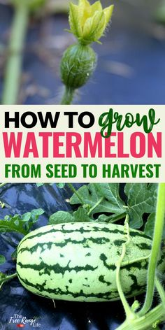 Do you love eating watermelons in the summer? Learn how to grow your own watermelon from seed! Melons are easy to grow from seed and give you a fresh harvest of watermelons to enjoy all season long. If you've never grown watermelon before- here's how! Growing Watermelon From Seed, Types Of Watermelon, How To Grow Watermelon, Growing Melons, Watermelon Plant, Watermelon Patch, Eating Watermelon, Growing Seeds, Growing Vegetables