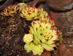 Free Image on Pixabay - Houseleek, Plant, Leaves, Meaty Korn, Pesto, Natural, Plant Leaves, Succulents, Fruit, Garden, Articles, Tips