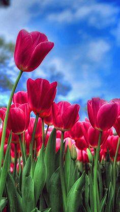 Spring Flowers Wallpaper, Beautiful Flowers Wallpapers, Flower Phone Wallpaper, Pretty Wallpapers, Nature Wallpaper, Iphone Wallpaper, Red Tulips, Tulips Flowers, Flowers Nature