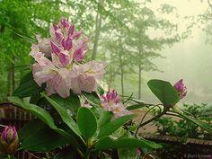 Rhododendron fog by Sherri Brannon, via Flickr. Beautiful!