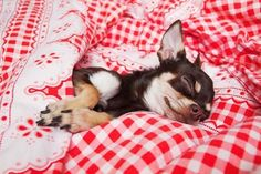 """Wake me when it's dinner time won't you?""... Some #Chihuahuas prefer naps before dinner...and after too! Click on this image for more cute #dog pics"
