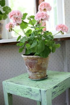 Growing geraniums indoors: How to grow geraniums as a houseplant flowers plants vegetable gardening planters containers boxes Scented Geranium, Pink Geranium, Geranium Plant, Potted Plants, Garden Plants, Indoor Plants, Garden Web, Geraniums Garden, Potted Geraniums