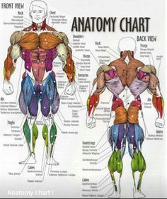 Muscles of the body