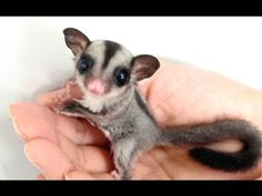 you have a sugar glider as a pet? - Daily Pet Guide - Can you have a sugar glider as a pet? – Daily Pet Guide -Can you have a sugar glider as a pet? - Daily Pet Guide - Can you have a sugar glider as a pet? Super Cute Animals, Cute Baby Animals, Animals And Pets, Funny Animals, Cutest Animals, Cute Small Animals, Mundo Animal, My Animal, Sugar Glider Baby