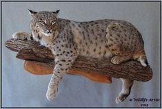 Bobcat wall mount *Taxidermist Story for Halloween