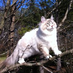 Hypo Allergenic Siberian Cat. See info of the breed.  Croshka Siberians http://www.siberian-cat.net or join my Facebook page Croshka Siberian Cats & Kittens