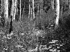 """Aspens and Spring Wildflowers BW"" Fine art black and white photograph by Dilectus Rex. A spring hike in the Wasatch mountains of northern Utah is enough to stir anybody's soul. The green aspens quaking in the light breeze over yellow, white and violet wildflowers. This particular spot is on the Willow Heights trail in Big Cottonwood Canyon. #dilectusrex"