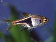 Rasbora heteromorpha hebben een zwart gekleurde vlek op het lichaam. De Espei en Hengeli lijken op de heteromorpha. Ze komen van oorsprong uit Zuidoost-Azië.
