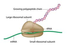 protein translation on the ribosome - Biology101 Study Guides