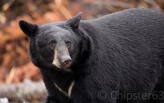 Chipster63 Photography: Smarter than the average bear