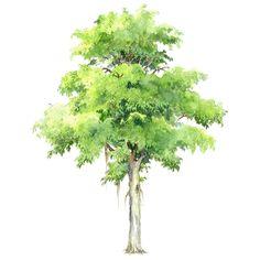 31.Ficus benjamina 垂葉榕.gif