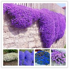 BUY now 4 XMAS n NY! 100 Aubrieta Cultorum Seeds For Drought Tolerant Rock Garden Of Villa Park In A Variety Of Places Perennial Ground Cover Plant Find out more on AliExpress website by clicking the image Perennial Ground Cover, Ground Cover Plants, Villa Park, Garden Types, Flower Seeds, Flower Pots, Succulents Garden, Planting Flowers, Purple Plants