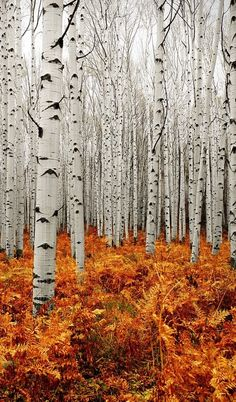 Aspen Forest | by Chad Galloway