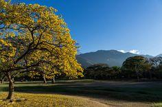 Bello Araguaney en el Parque del Este (Caracas) con El Ávila de fondo..                                        11014858_974615205884266_1853150534551580523_o.jpg (2048×1361)