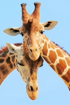 Cute giraffes standing together