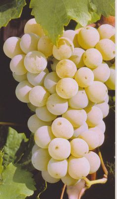 49 Fruit to Bumper Harvest in Autumn for Thanksgiving Grape Tree, Grape Vines, Fresh Fruits And Vegetables, Fruit And Veg, Fruit Fruit, Veggies, Grape And Grain, Fruit Picture, Types Of Fruit