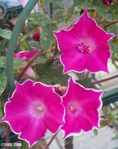 Full size picture of Japanese Morning Glory 'Double Red Picotee' (<i>Ipomoea nil</i>)