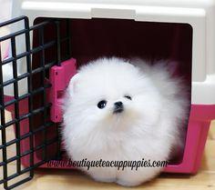 Teacup Pomeranian - She looks like she's wearing a tutu!