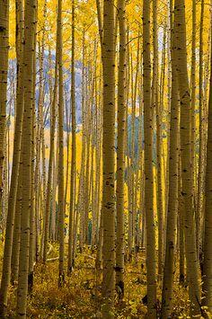 Aspen Backdrop | by Mike Berenson - Colorado Captures