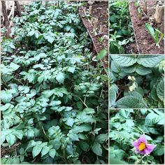 évolution de ma #culture de #pomme de terre. Certaines plantes ont fleuries. evolution of my culture #potato. Some plants have flowered. Planté il y a 10 semaines. have been planted 10 weeks ago http://ift.tt/1Z6f7Wi  #FellahUrbain #YallahNgharsou #permacultureafrica #permaculturecasablanca #Africa #Afrique #Casablanca #Maroc #Morocco #Marroko #permaculture #urbanagriculture #agricultureurbaine #ediblegarden #potager #bio #potagerurbain #potagergarden #urbangardens #urbangardener…