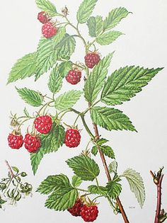 Vintage Botanical Print 'Raspberry' by Bonnie and Bell, the perfect gift for Explore more unique gifts in our curated marketplace. Vintage Botanical Prints, Botanical Drawings, Botanical Art, Bush Drawing, Plant Drawing, Little Boy Photography, Vegetable Drawing, Raspberry Plants, Raised Bed Garden Design