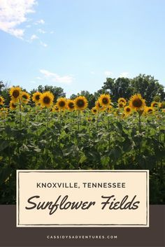 Sunflowers always seem like the happiest of flowers, to me � the way they stand tall and proud, facing the sun and radiating bright yellow. In Knoxville, Tennessee, just outside of Ijams Nature Center, lies this 25 acre field abundant with sunflowers, owned by the Forks of the River Wildlife Management Area. Mid July is the perfect time to visit, as sunflowers are in full bloom. It is a double win for the city of Knoxville � because it�s beautiful and people enjoy it, but also because it is…