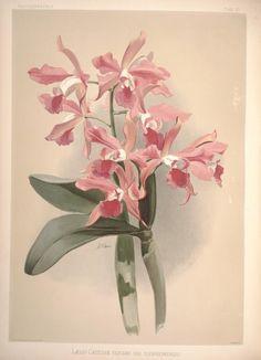 Reichenbachia ?orchids illustrated and describe...