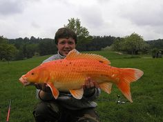 1000 images about koi fish ponds pond plants on for Giant coy fish