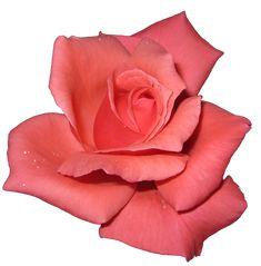 Wild Sweet Rose.