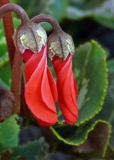 Red cyclamen buds