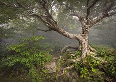 'Enduring Craggy' ... an old beech tree on the hiking trail at Craggy Gardens, on the BRP north of Asheville. Photo by Dave Allen.