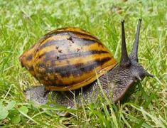 Giant Ghana Snail - Bigger Than You Thought Iron Lion Zion, Tweety, Giant African Land Snails, Giant Pacific Octopus, African Tribes, Saltwater Aquarium, Bugs And Insects, Reptiles And Amphibians, West Africa