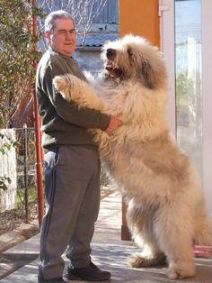 Mioritic Shepherd (female).Conda Kennel,Romania. Unusual Dog Breeds, Countries Of The World, Shepherd Dog, I Love Cats, Cute Puppies, Pugs, Cute Animals, Horses, Image