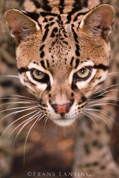 Ocelot, Leopardus pardalis, Chiapas, Mexico