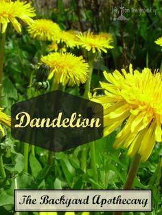 The Backyard Medicine Cabinet: Dandelion