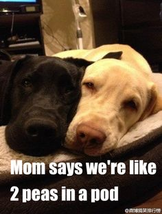 So DogGone Funny!: 16073 - Mom says we're like two peas in a pod.  #dogs #pets #LabradorRetrievers