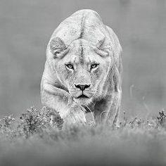 Lion predator, photo by Shlomi Nissim Wildlife Photography, Animal Photography, Photography Tips, Photography Composition, Inspiring Photography, Lioness Quotes, Animals Beautiful, Cute Animals, Wild Animals