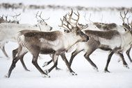 Powerlines disturb animal habitats by appearing as disturbing flashes of UV light invisible to the human eye - Environment - The Independent. Shark Conservation, Animal Habitats, Tromso, Human Eye, Ecology, Reindeer, Norway, Art Photography, Moose Art