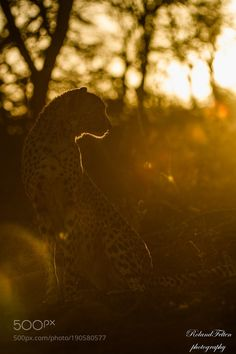 Cheetah in the evening sun by Roland-F via http://ift.tt/2irv3Gq