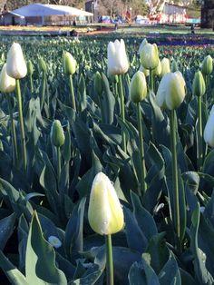 Floriade 2014 - Tulips, tulips, everywhere! |a little bird made me