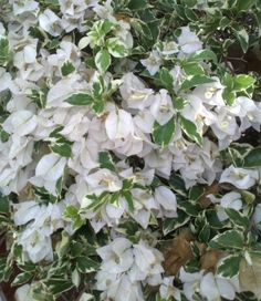 Bunga Kertas Warna Putih Bergerombol