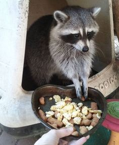 """""""I'll come if she hands the food while I'm still in bed. Pet Raccoon, Pole Star, Animal Kingdom, Funny Raccoons, Husky, Cute Animals, Creatures, Bear, Balls"""