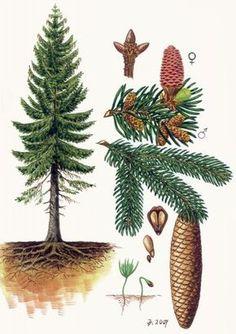 Ke stažení - Vojenské lesy a statky dětem Plant Illustration, Botanical Illustration, Botanical Drawings, Botanical Prints, Pine Tree Art, Picea Abies, Conifer Trees, Nature Sketch, Forest School