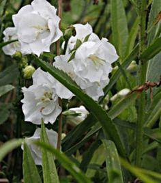 Irjalan taimistox3 - Kurjenkello, valkoinen, kerrottu - Campanula persicifolia 'Alba Plena'