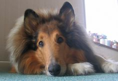 Beautiful Rough Collie....when I was young, I always wanted a Lassie! So pretty!