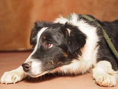 Adopt Adele, a lovely 1 year Dog available for adoption at Petango.com.  Adele is a Australian Shepherd and is available at the National Mill Dog Rescue in Colorado Springs, Co. www.milldogrescue... #adoptdontshop #puppymilldog #rescue #adoptyourfriendtoday