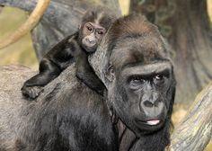 Brookfield Zoo & The Chicago Zoological Society Female Gorilla, Western Lowland Gorilla, Brookfield Zoo, Ape Monkey, African, Animals, Monkeys, Chicago, Babies